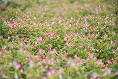 De mycket lilla purpurfärgade blommorna i den suddiga platsen royaltyfria foton