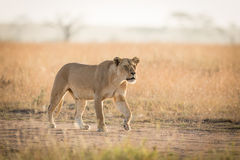 De één Afrikaanse Leeuwin jacht in Serengeti, Tanzania Stock Foto's