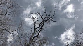 De naakte boom beweegt zich in de wind stock video
