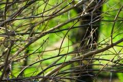 De naakte boom vertakt zich met knoppen op groene het gebladerteachtergrond van de de lentetijd, wekkende aard, kalmte Royalty-vrije Stock Foto's