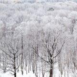 De naakte boomstammen van de zwarte eikboom in bos in de winter Stock Foto