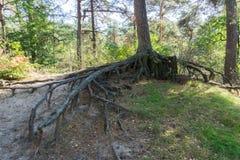 De naakte grote boomwortels vertakt zich weg van een boomboomstam ver boven de grond in een boslandschapslandschap stock fotografie