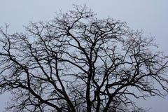 De naakte kam van de de winterboom op lichtgrijze hemel Stock Foto's
