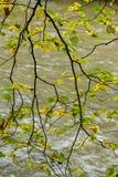 de naakte takken van de berkboom in de herfst tegen donkere achtergrond Stock Fotografie