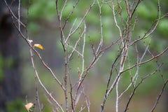 de naakte takken van de berkboom in de herfst tegen donkere achtergrond Royalty-vrije Stock Afbeeldingen