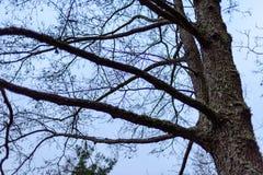 de naakte takken van de berkboom in de herfst tegen donkere achtergrond Stock Afbeeldingen