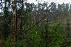de naakte takken van de berkboom in de herfst tegen donkere achtergrond Stock Foto's