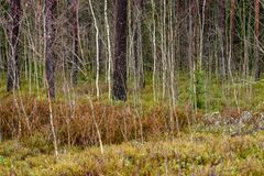 de naakte takken van de berkboom in de herfst tegen donkere achtergrond Stock Afbeelding