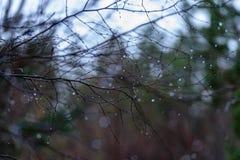 de naakte takken van de berkboom in de herfst tegen donkere achtergrond Royalty-vrije Stock Afbeelding