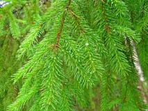 De naald van de pijnboom Stock Afbeeldingen