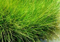 De naald vormde bladeren van aquatisch Zeggeonkruid stock foto