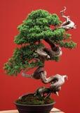De naaldboom van de bonsai Stock Foto's