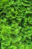 De naalden van de cipres Royalty-vrije Stock Fotografie