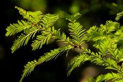 De naalden van de kustcalifornische sequoia in de zon Royalty-vrije Stock Fotografie