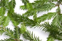 De naalden van de kustcalifornische sequoia tegen een witte achtergrond Stock Foto