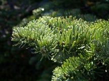 De Naalden van de pijnboom Stock Afbeelding