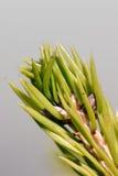 De Naalden van de pijnboom Stock Foto's