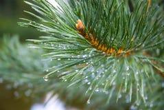 De naalden van de pijnboom na regen Royalty-vrije Stock Foto