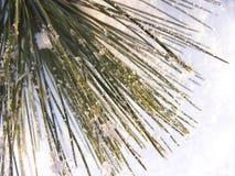 De naalden van de pijnboom op sneeuw Royalty-vrije Stock Afbeeldingen