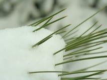 De naalden van de pijnboom in sneeuw Royalty-vrije Stock Foto's