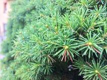 De naaldenachtergrond van de close-uppijnboom Stock Foto