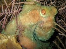 De nachtduik van de octopus Stock Foto's