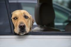 De nadenkende golden retrieverhond kijkt uit venster van auto met hoofd die op vensterbodem rusten - close-up royalty-vrije stock fotografie