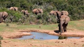 De Naderbij komende Waterpoel van de olifantskudde Stock Afbeeldingen
