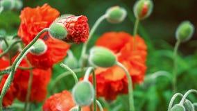 De nadruk op knop van decoratieve rode papaverbloem in de lentedag, sluit omhoog, 4K 3840 x 2160 UHD stock videobeelden