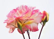 De nadruk stapelde Roze en Witte Rose With Buds Isolated op Wit stock fotografie