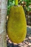 De nadruk van de Jackfruitboom Stock Foto's