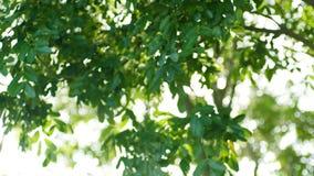 De nadruk verandert wanneer zonlicht fonkelend onder groene bladeren stock footage