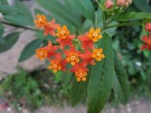 De nadrukmening van milkweed bloemen bij dag royalty-vrije stock afbeeldingen