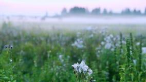 De nadrukvoorgrond van de bloemklis Het vage gebied van het achtergrond landelijke scène groene gras met de ochtendavond van de m stock video