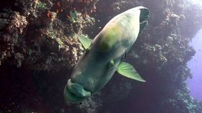 De Napoleonvis op Yolanta-ertsader is frendly en niet zeer schuw stock videobeelden