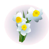 De narcissen van de de lentebloem die op witte achtergrond worden geïsoleerd Royalty-vrije Stock Fotografie