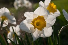 De narcissen van gele narcisjohn evelyn royalty-vrije stock afbeelding