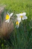 De narcissen van gele narcisjohn evelyn en Festuca-glauca blauw aanwijsstokje stock foto's