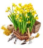 De narcissen van de de lentebloem in rieten mand Royalty-vrije Stock Foto's