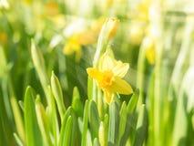 De narcissenbloemen van de lente tot bloei komende gele gele narcissen Stock Foto's