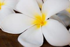 De nationale bloemen van Sri Lanka - de rode van de Schoenbloem of Hibiscus rosa-sinensis Chinese en Hawaiiaanse hibiscus, China  stock foto's