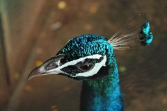 De nationale vogel van pauwindia royalty-vrije stock afbeeldingen