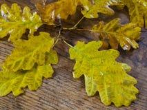 De natte bladeren van de de herfst gele eiken boom op oud eiken houten natuurlijk bureau Stock Afbeeldingen