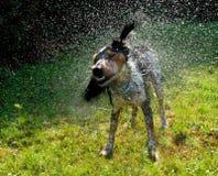 De natte hond die itsself droogt schudt stock foto's
