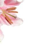 De natte macro van de leliebloem, hoek stock foto