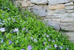 De natuurlijke achtergrond, schrijft blauwe maagdenpalm in stock fotografie
