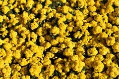 De natuurlijke gele achtergrond Royalty-vrije Stock Afbeeldingen