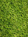 De natuurlijke Groene achtergrond van de bladerenmuur stock foto's