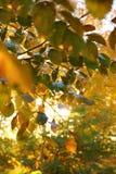 De natuurlijke kleuren van de Gouden herfst, de zon verlicht de bladeren stock fotografie