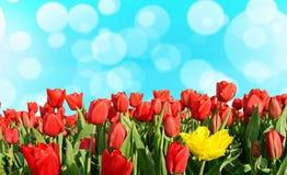 De natuurlijke de Lenteachtergrond met tulpen en bokeh het effect voor begroeten Stock Fotografie